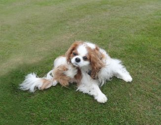 Daisy, Cavalier with Syringomyelia